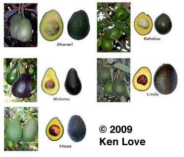 Avocado varieties (Photo courtesy of Ken Love)