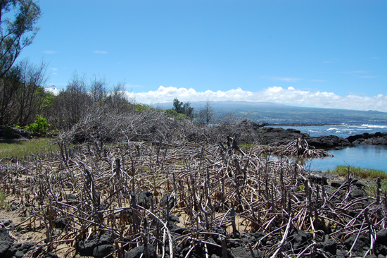 A community meeting will be held Tuesday, August 31, 6 p.m. at the Pahoa Community Center to discuss the ongoing mangrove eradication project at several public and private properties on the Island of Hawaii, including the Wai` Opae Marine Life Conservation District, Isaac Hale Beach Park at Pohoiki, and Onekahakaha beach park in Hilo.