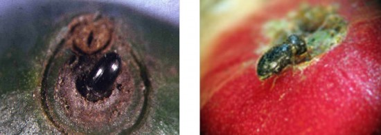 Photo 3. Coffee Berry Borer entering the fruit.