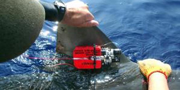 Yo-yo diving behavior is not primarily energy conservation strategy, but search strategy