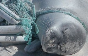 Entangled Monk Seal. Photo courtesy of NOAA