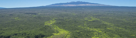 Virgin koa forest for sale in Hakalau