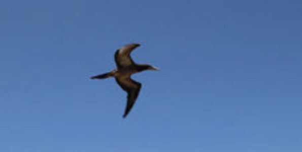 Save our Shearwaters, Hawaii Wildlife Center give Brown Booby a second chance