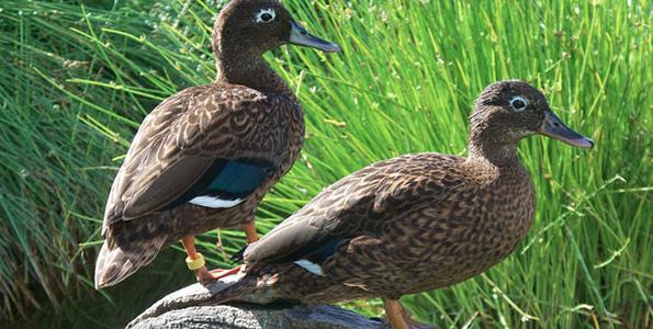 Return of the Laysan Duck