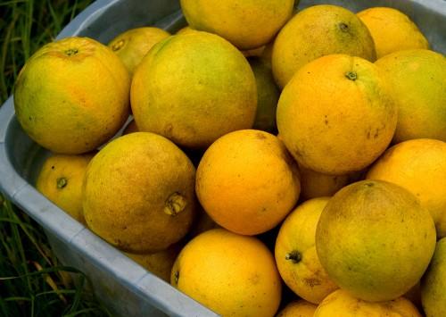 Organic oranges at Suncloud Farm
