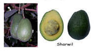 Farming with Love: Harvest avocados at the right time!