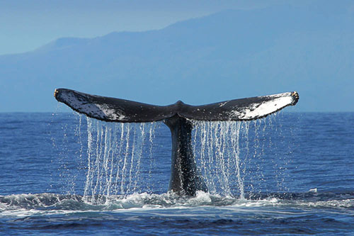 Whale Sanctuary ocean count volunteers needed