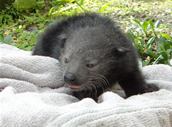 The baby binturongs are healthy and strong and getting ready to venture out into their enclosure; parents Lucille and Ricky are also doing well