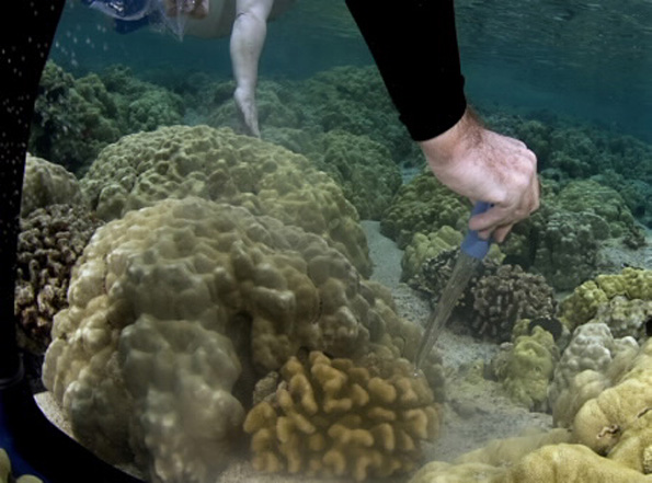 A kitchen baster is used to collect gametes as the coral spawns. (Photo courtesy of David Kearnes/www.pacificwatercolors.com )