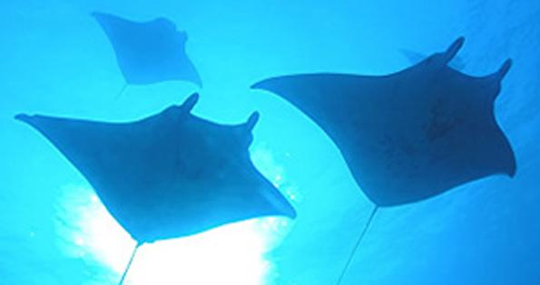 Manta ray protection bill becomes law