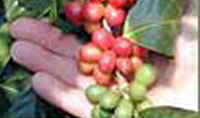 Kona coffee wins state's first cupping competition
