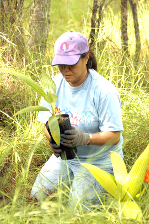 Volunteer Dallas Wilcox (Refund Clerk/Accounting) of Hawaiian Airlines takes a loulu palm from the planter. (Photo courtesy of Hawaiian Airlines)