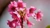 Cherry blossoms at Waimea's Church Row.