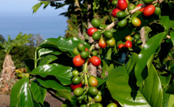 State's coffee production down 13%; five-year low