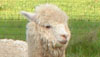 On September 25 and 26, alpaca breeders from across the United States and Canada will invite the public to come to their farm or ranch to meet their alpacas and learn more about these inquisitive, unique animals.  From 10am to 3pm, Ahualoa Alpacas will welcome guests to join them for activities including an introduction to the alpaca, alpaca products, and fiber arts demonstration by the Handweavers' Hui, all free!