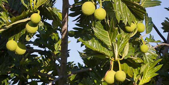 Workshops about growing, preparing, eating breadfruit (March 12-13)