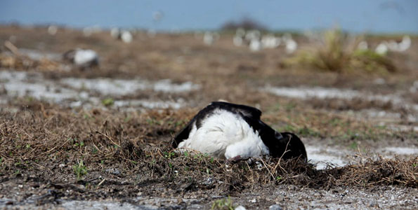 Surges of up to five feet high washed ashore on many of the tiny atolls, which are mere feet above sea level. More than 100,000 tropical seabirds were killed by the tsunami at Midway Atoll alone.