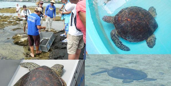 The Kohala Center ensures Keauhou turtle thrives after amputation