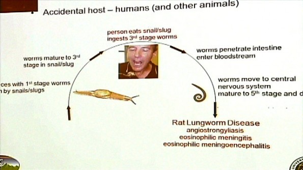 rat lungworm lifecycle