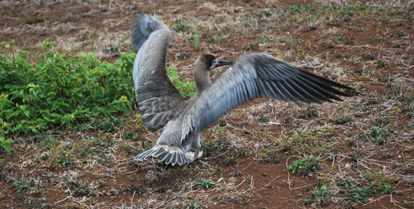 Landmark rescue and release of seabird kicks off full operations of Hawaii Wildlife Center
