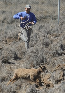 Hilo bow hunter Kelly Muranaka was one of the volunteers who rounded up sheep at Pohakuloa Training Area on Saturday (Dec 1). Here Muranaka tries to rope a sheep trying to get away. Photo by Bob McElroy/USAG Pohakuloa Public Affairs