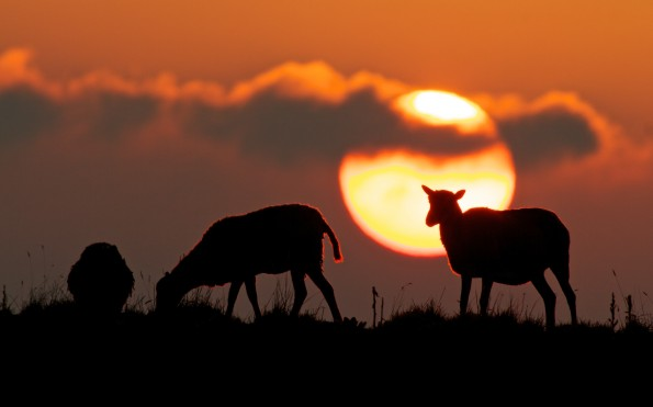 A herd of wild goats graze at sunset on the old pahoehoe lava flats alongside the Saddle Road at Puu Huluhulu near Mauna Kea access road. December 7, 2012. Photography by Baron Sekiya | Hawaii 24/7