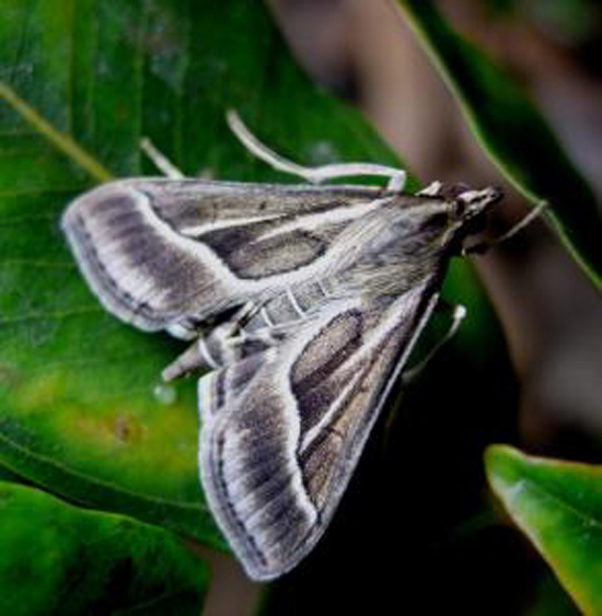 Omiodes continuatalis. (Photo courtesy of W. Haines, UH Manoa, Insect Systematics and Biodiversity Lab)