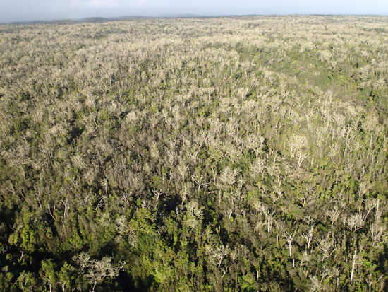 Hawaii Island Koa Defoliation (Photo courtesy of William Haines   UH Manoa CTAHR)
