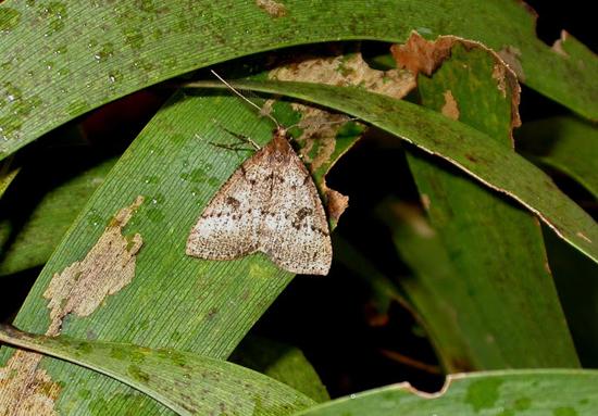 Scotorythra Paludicola Adult (Photo courtesy of William Haines | UH Manoa CTAHR)