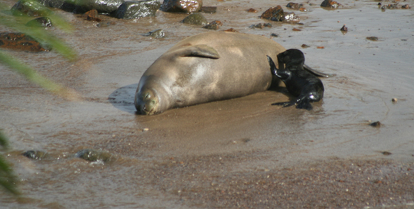 Baby Hawaiian monk seal nurses Friday at Keokea Beach Park. (Photo courtesy of Art Tarsa | NOAA Monk Seal Volunteer Team)