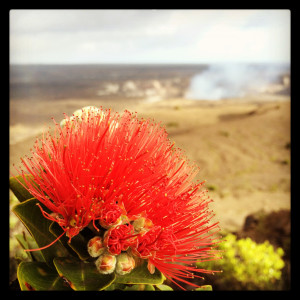 'Ōhi'a Lehua blossoms at Kilauea Caldera with Halemaumau Overlook Vent in the distance. Photography by Baron Sekiya | Hawaii 24/7