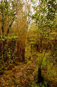 The Kahaualea Natural Area Reserve trail at the end of Captain's Drive in Glenwood, Hawaii. Officially the trail is closed but hikers and hunters often enter the area. Hawaii 24/7 File Photo.