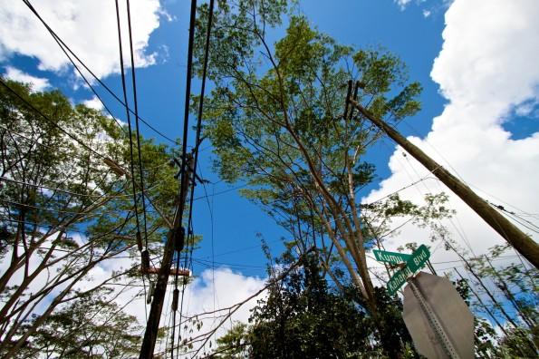 Albizia trees amongst the utility lines in Hawaiian Beaches. Photography by Baron Sekiya | Hawaii 24/7