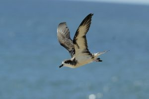 'Ua'u in flight. Photo courtesy of Jim Denny