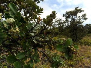 Ohia growing at Hawaii Volcanoes National Park Kahuku Unit. Hawaii 247/7 File Photo