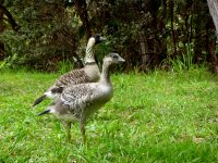 The gosling in late March, with a parent, near Pu'u Pua'i Overlook Photo courtesy of National Park Service