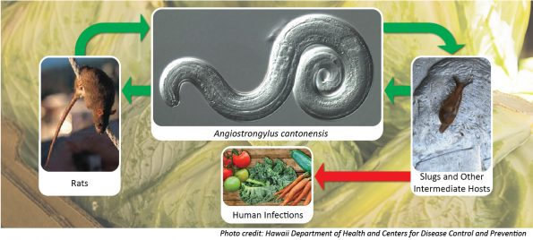 Rat Lungworm (Angiostrongylus cantonensis) lifecycle.