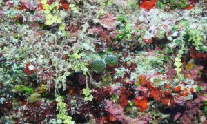 A mixed assemblage of macroalgae from 58 m (190 ft) depth at Lisianski, Northwestern Hawaiian Island.